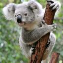 avatar of koala madzia