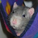 Rat Clique
