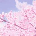 sakura leylines ;;